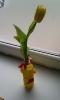 Wazon od pana na tulipana_51